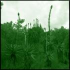 plant hunting #1012 Neocalamites, Aloe marlothii